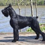 Ризеншнауцер щенки чёрного окраса, Псков